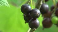 Stock Video Footage of Black Berries currants home macro garden 4k