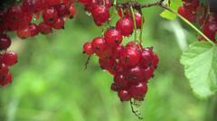 Berries currants home macro garden 4k Stock Footage