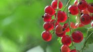 Stock Video Footage of Red Berries currants home macro garden 4k