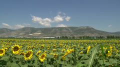 Pan from field of Sunflowers with the mountains at the background Stock Footage