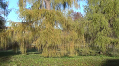 Wide green branches larch on park suuny day autumn Stock Footage