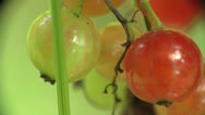 Stock Video Footage of Berries yellow currants home macro garden 4k