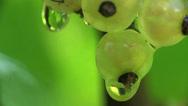 Stock Video Footage of Berries currants home macro garden 4k