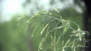 Stock Video Footage of blade of grass with dew drops macro 4k