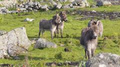 Four Donkeys in a Field Stock Footage