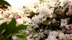 Thai White and pink Bougainvilleas flowers. Video shift motion Stock Footage