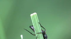Braun beetle bug donacinae insect macro 4k - stock footage