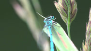 Stock Video Footage of Azure Damselfly dragonfly insect macro blue 4k
