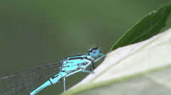 Azure Damselfly dragonfly insect macro blue 4k Stock Footage