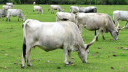 Stock Video Footage of Beautiful hungarian grey cows in the field