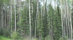 Canada Alberta mixed forest Stock Footage