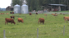 Canada Alberta cattle with silos, cows grazing Stock Footage