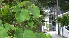 Grapes in a small street in Panagia, Thassos, Greece Stock Footage