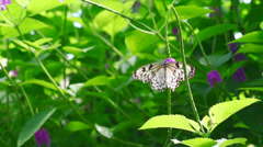 White tree nymph butterfly taking off Stock Footage