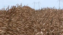FIELD OF RIPE WHEAT IN THE WIND WITH TRANSMISSION LINE IN A HEAT HAZE - stock footage
