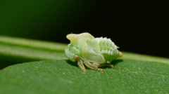Black Locust Treehopper (Vanduzea arquata) Nymph 1 Stock Footage