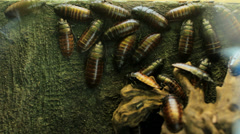 Cockroaches on wall Stock Footage