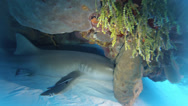 Stock Video Footage of Nurse Shark Under Coral Head