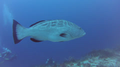 Grouper Swimming Stock Footage