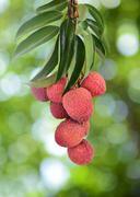 fresh lychee on tree - stock photo