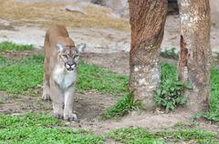 mountain lion in captive environment - stock photo
