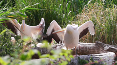Rosy Pelican drying wings Stock Footage