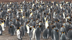 Colony of king penguins in Bluff Cove, Falkland Islands Stock Footage