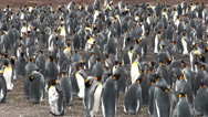 Stock Video Footage of Colony of king penguins in Bluff Cove, Falkland Islands