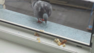Stock Video Footage of Pigeon pecking bread crumbs on the window
