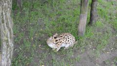 Laptailurus Serval on the alert Stock Footage