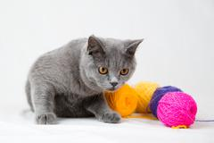british shorthair cat on gray background - stock photo