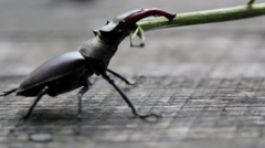 Stag beetle fighting with a stick.Insect stag beetle. Stock Footage