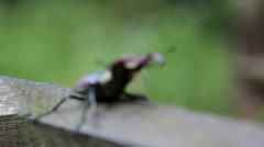 Stag beetle crawling on the table.Insect stag beetle. Stock Footage