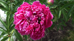 Big bumblebee collecting nectar in the peony flower Stock Footage
