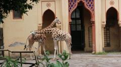 Giraffes walk around Stock Footage