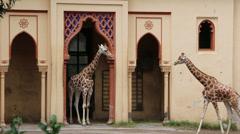 Couple of Giraffes Stock Footage