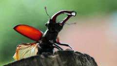 Stag beetle takes off from the trunk of the tree.Insect stag beetle. Stock Footage