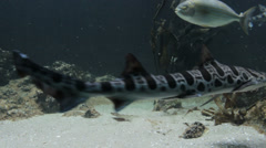 Leopard sharks in aquarium Stock Footage