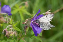 Black-veined white butterfly (aporia crataegi) on blue flowers Stock Photos