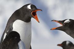 gentoo penguin two during an argument at the nests - stock photo