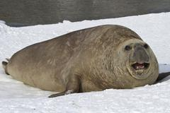 Adult male sea elephant seal resting on the shores of the antarctic Stock Photos