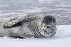 Old male leopard sea resting on the ice of antarctica Stock Photos