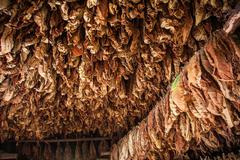 dried tobacco leaves in the farm, cuba - stock photo