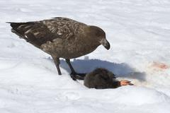 Stock Photo of brown skua chick who eats adelie penguin on snow