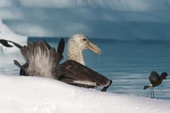 southern giant petrel eat carrion in antarctic - stock photo