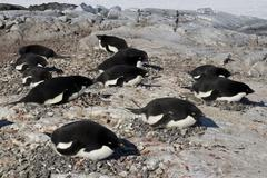 Adelie penguin colony on one of the antarctic islands Stock Photos