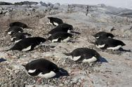 Stock Photo of adelie penguin colony on one of the antarctic islands