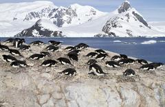 adelie penguin colony on the rocks of one of the antarctic islands - stock photo