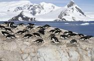 Stock Photo of adelie penguin colony on the rocks of one of the antarctic islands