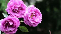 Three violet rose flowers Stock Footage